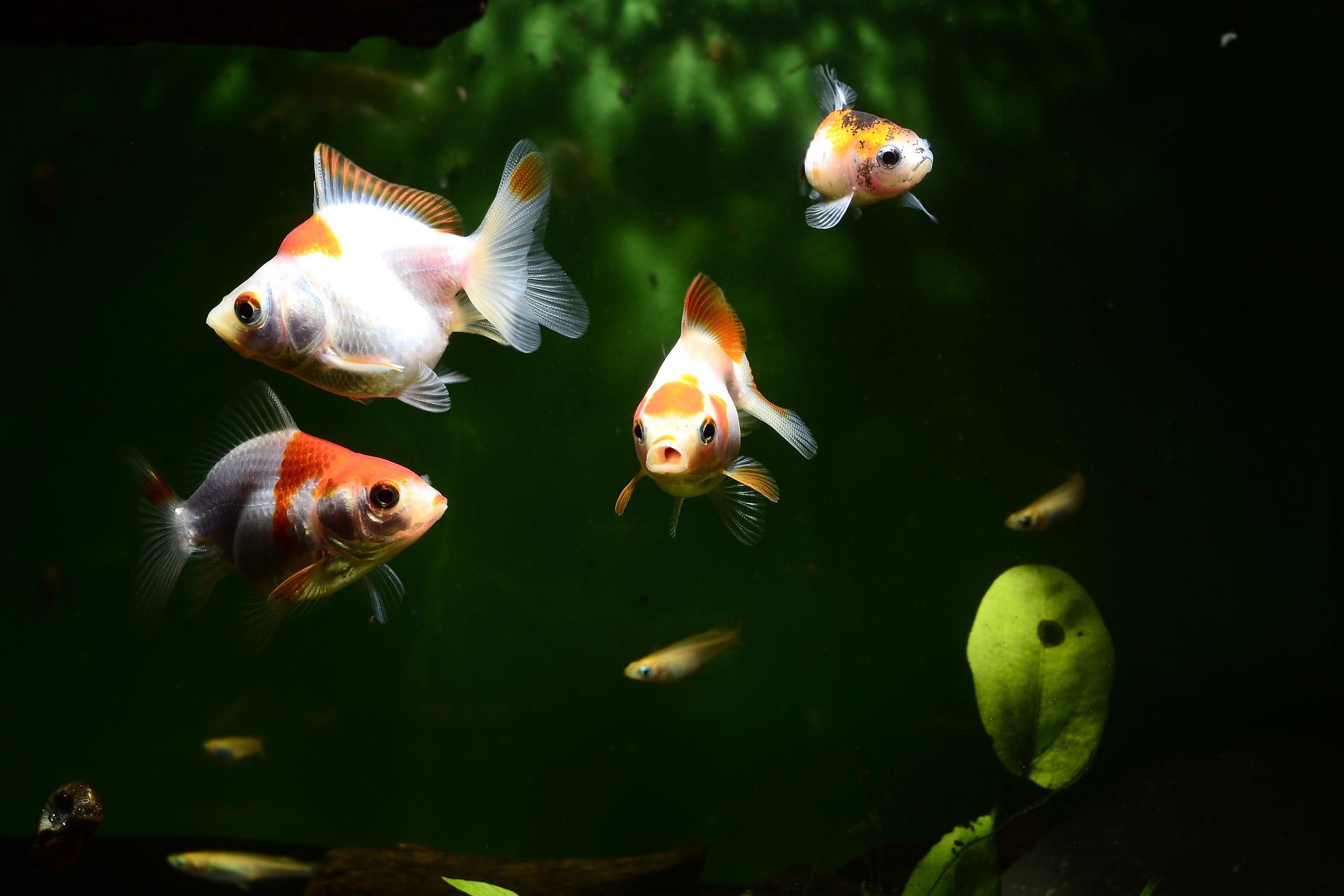 Kuldkalad ja teised kalad akvaariumis
