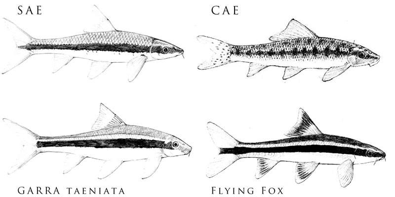 SAE, CAE, flying fox, garra taeniata