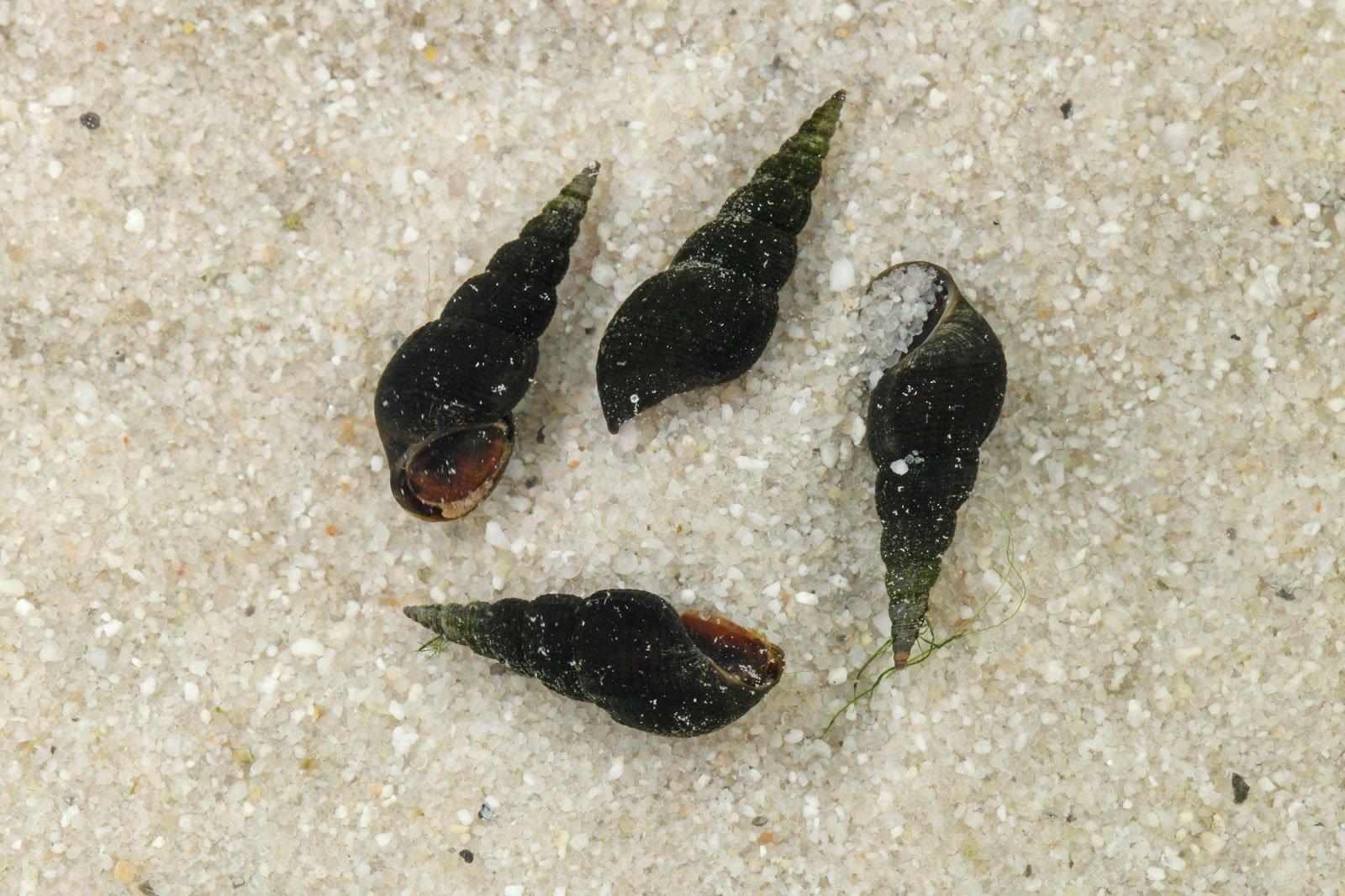 Neli melanoides macualata torntigu liival