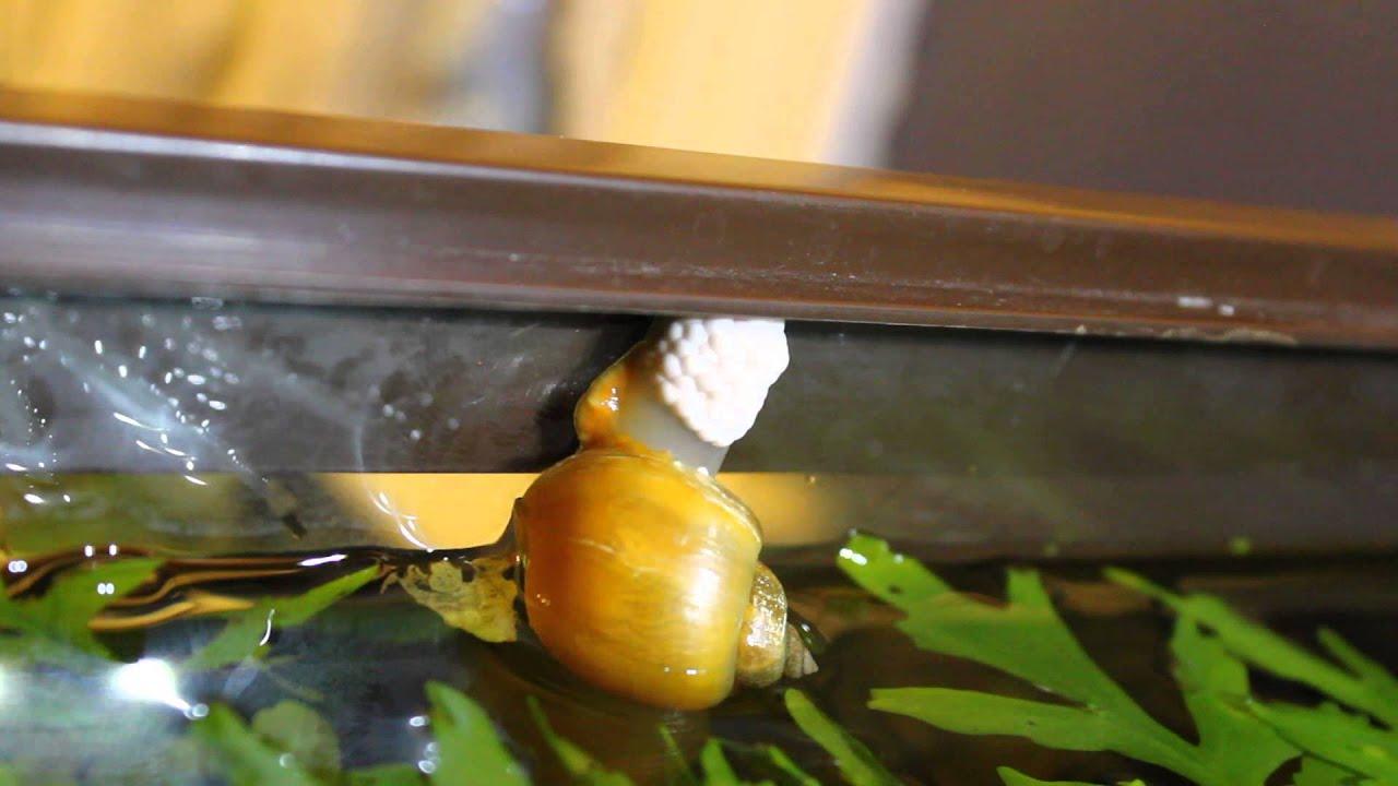 Õunatigu teeb kookonit akvaariumi klaasile