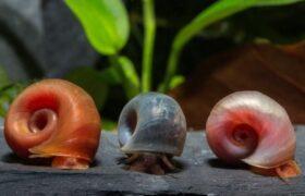 Kolm sarvtigu, roosa, sinine ja oranž