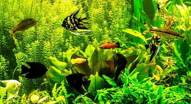 Eesti akvaristid, kalad akvaariumis